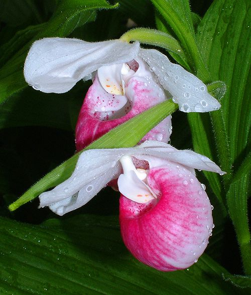 Cypripedium reginae with raindrops.